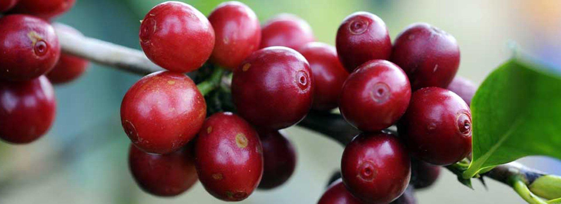 Immagine della pianta del caffè