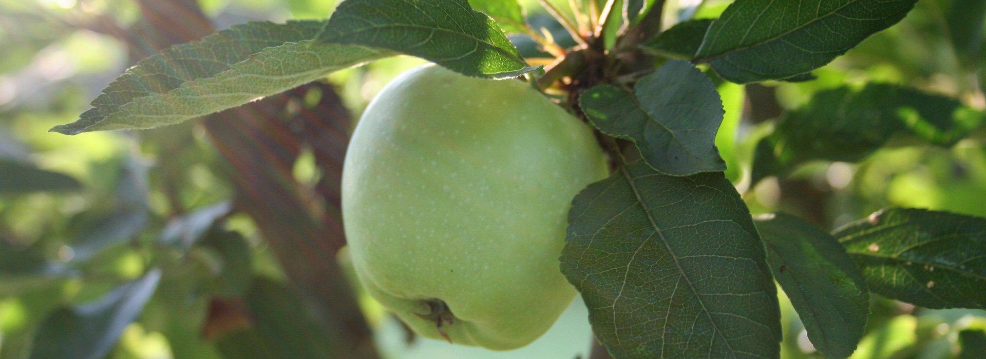 Immagine della mela verde