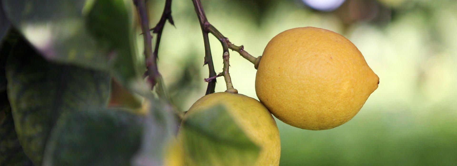 Limoni presenti nel sorbetto su stecco