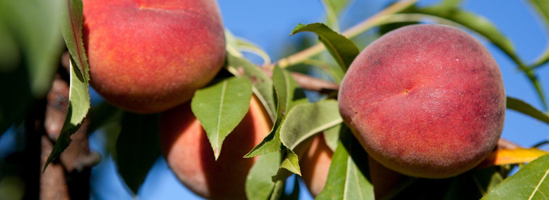 Photo of the peach tree